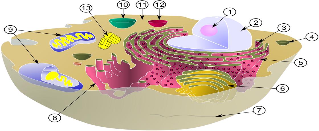 canlının en küçük yapı taşı hücre diyet
