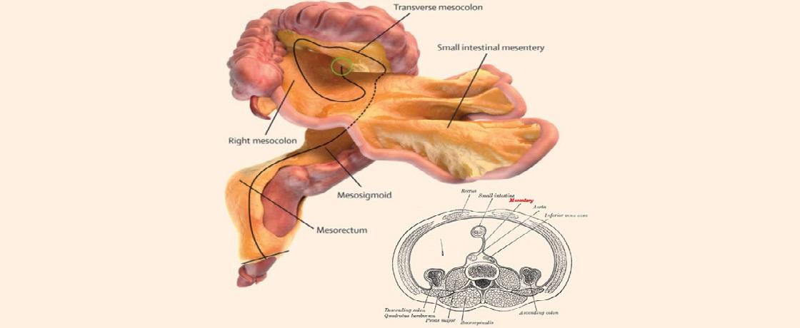 mezenter, sindirim sistemi, yeni organ, kabızlık, bağırsaklar, barsaklar