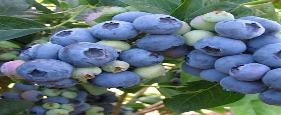 yaban mersini, likapa, maviyemiş, ligarba, ayı üzümü, morsivit, çalı çileği, Trabzon çayı