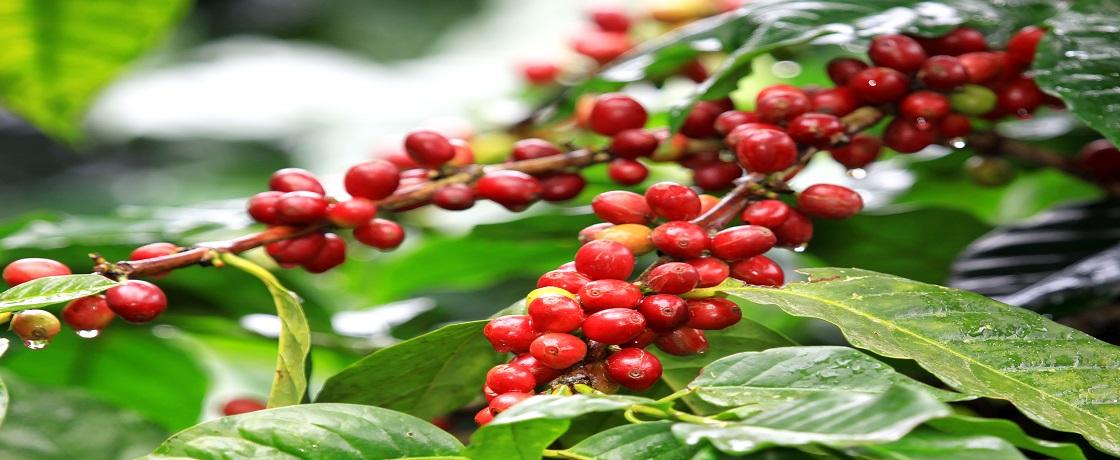 kahve ağacı, kahve çekirdeği (1)