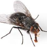 sinekler, sinekler hangi hastalıkları yapar, sineklerin yol açtığı hastalıklar, tifo ve sinekler, dizanteri ve sinekler, kolera ve sinekler, gıda hijyeni ve sinekler, toplu beslenmede sinekler, sinekler ile mücadele