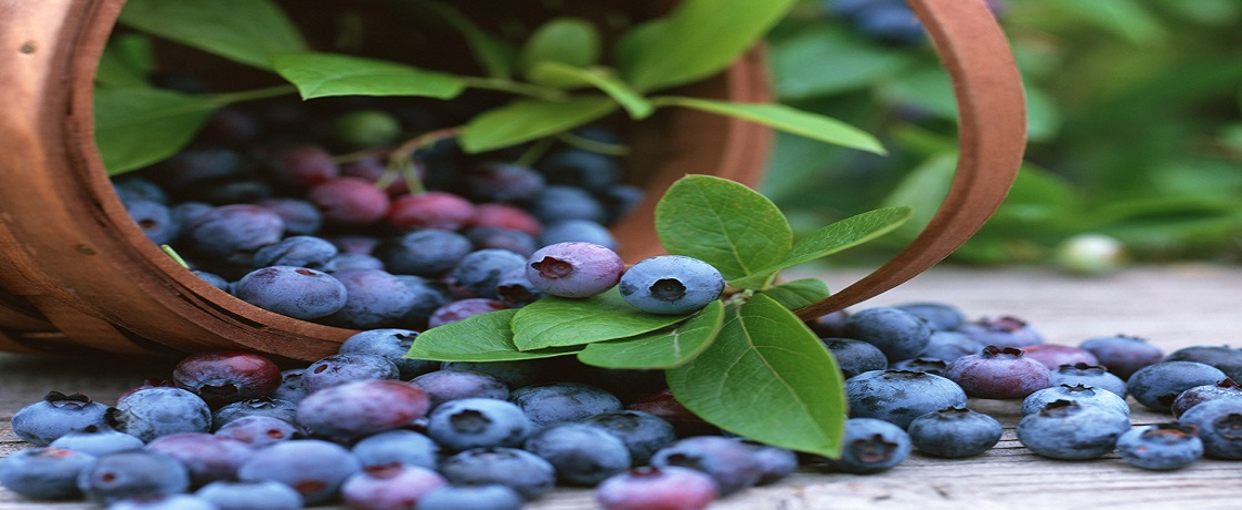 bilberry, bilberi, yaban mersini, yabanmersini