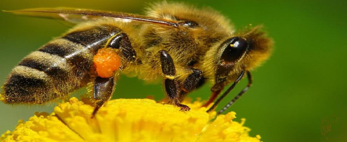 arı, apiterapi