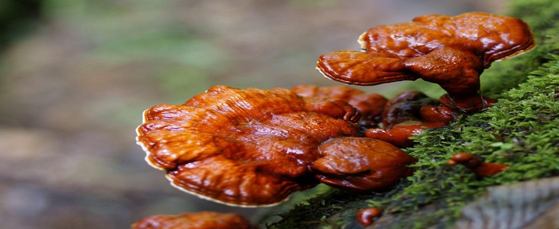 reishi mantarı ganoderma lucidum lingzhi (1)