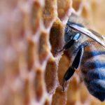 apiterapi, arı, bal, kovan, propolis, polen